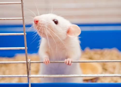 Las ratas como animal de compañía