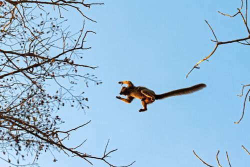 Lémur saltando