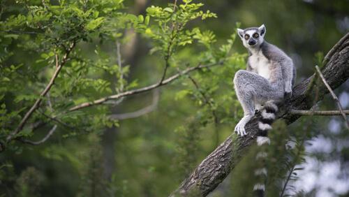 ¿Por qué hay lémures en Madagascar?