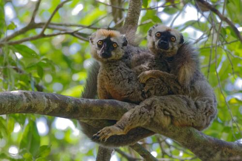 Los lémures se medican contra parásitos