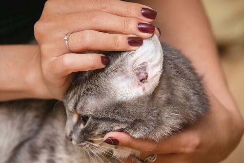 Limpiar orejas gatos
