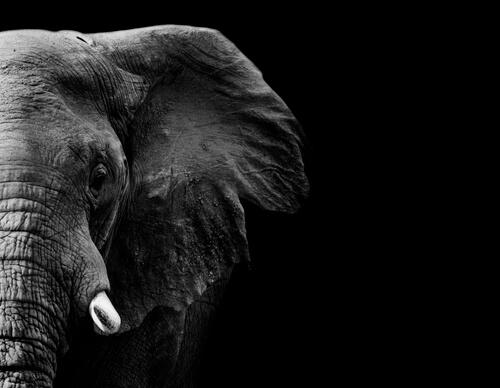 ¿Hasta dónde llega la memoria del elefante?