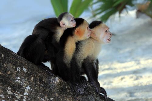 Monos capuchinos cariblancos
