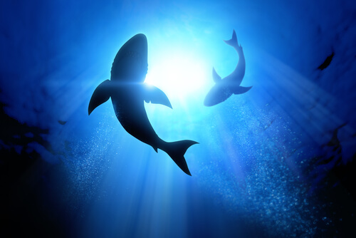 Orcas atacan tiburones