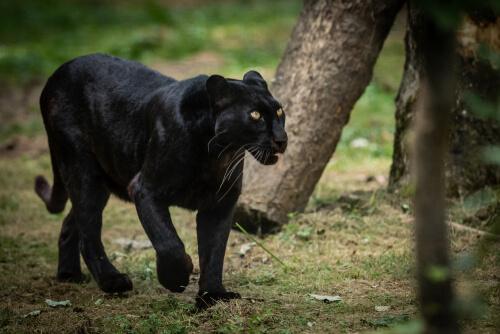 Pantera negra: características