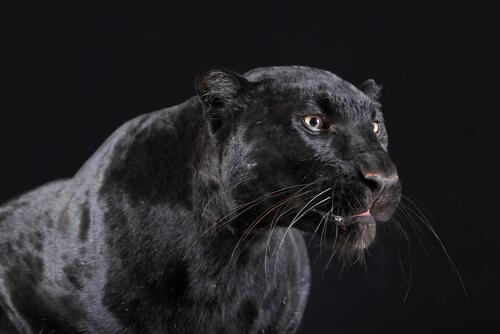 Pantera negra: comportamiento
