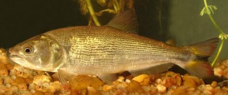 Peces de ríos sudamericanos: dorado