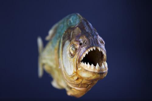Peces de ríos sudamericanos: piraña