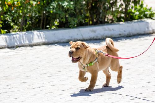 6 razones por las que un perro tira de la correa