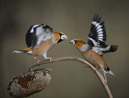 Picogordo: hábitat