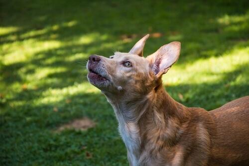 Historia de los perros podenco: cuantos tipos existen