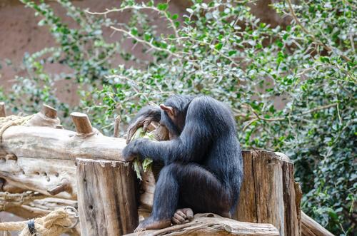 Por qué los chimpancés son tímidos