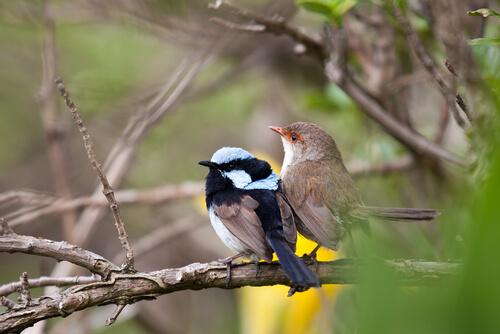 Ratona australiana azul