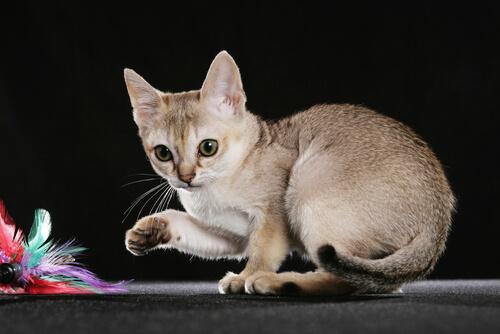 5 razas de gatos más pequeños