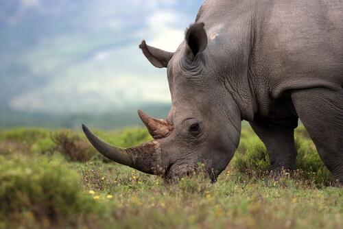 Ocho rinocerontes han muerto en su traslado a una reserva