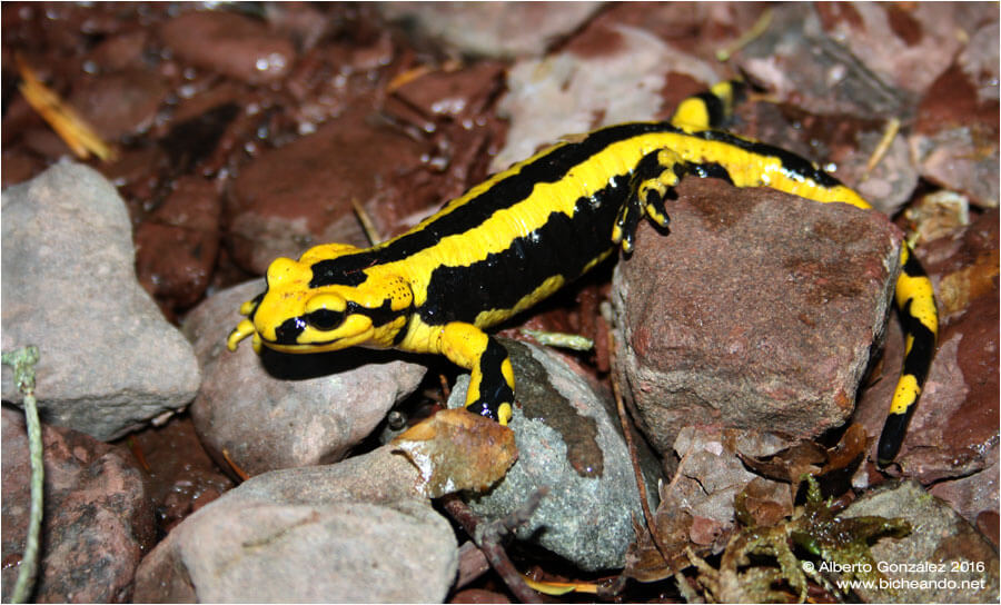 Salamandra fastuosa: salamandras de la península ibérica