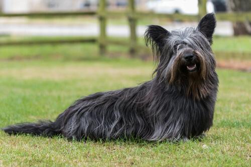 Skye terrier: perros de las Highlands escocesas