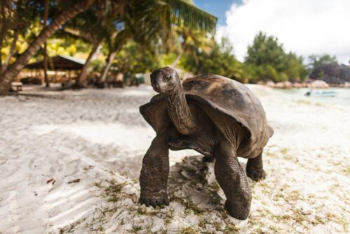 Tortuga gigante de Seychelles