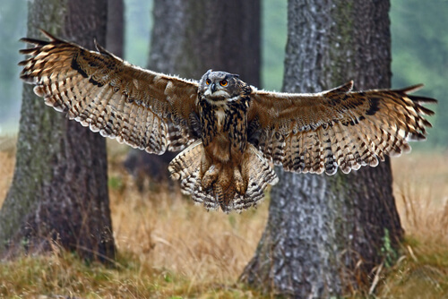 El increíble vuelo silencioso de los búhos
