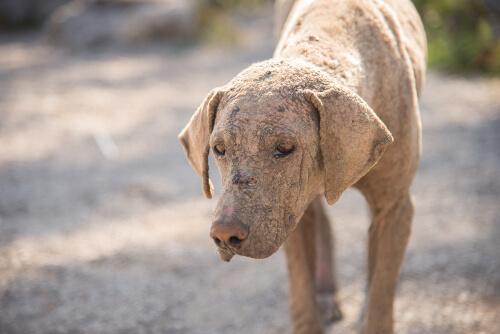 Как определить акариаз у собак и какие лекарства использовать?
