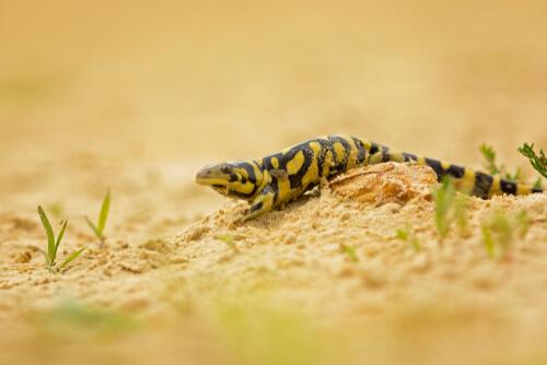 Alimentación de la salamandra tigre