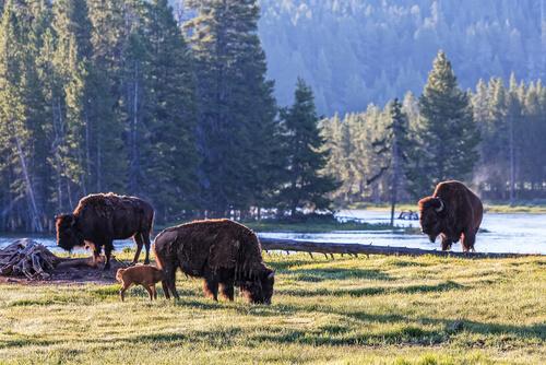 Animales en peligro de extinción en Yellowstone: bisonte