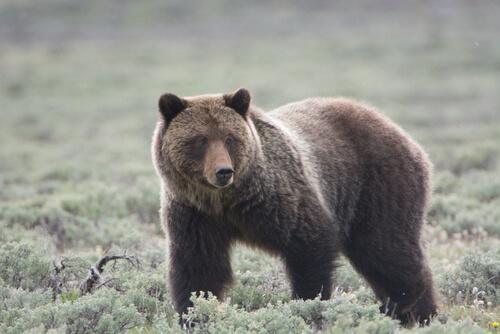 Animales en peligro de extinción en Yellowstone: oso grizzly