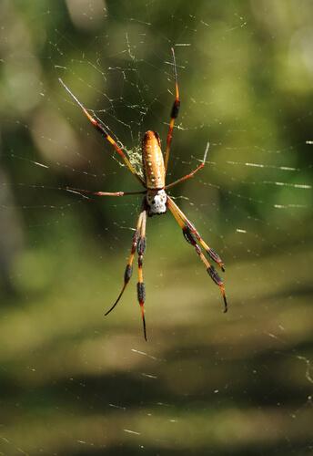 Araña bananera: hábitat