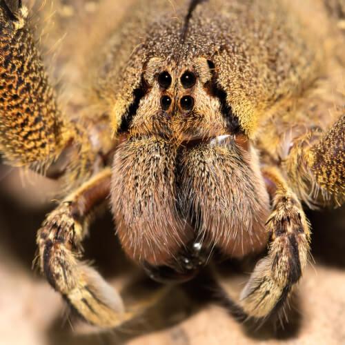 Araña bananera: hábitat y características