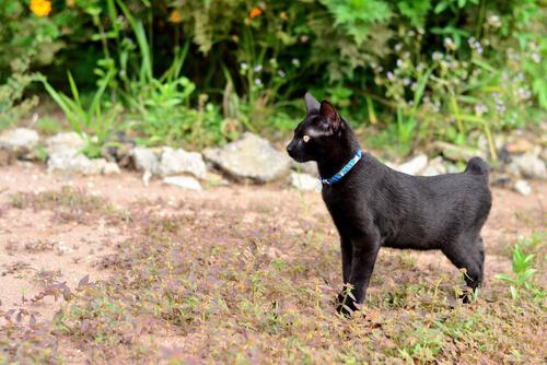 Bobtail japonés: cuidados y comportamiento