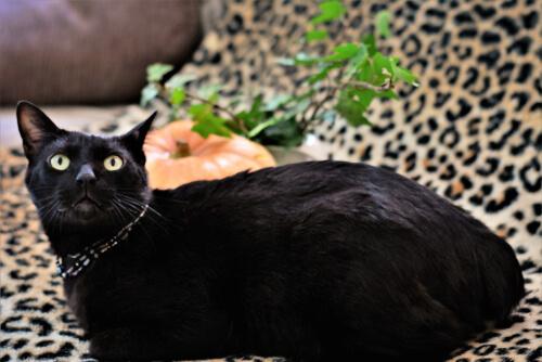 El bobtail japonés, el gato de la buena suerte