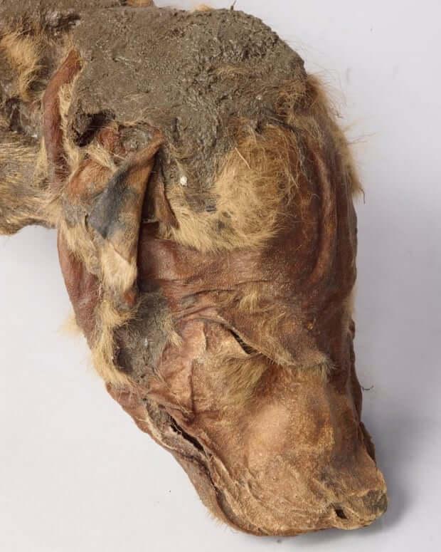 Cachorro de lobo momificado: cabeza