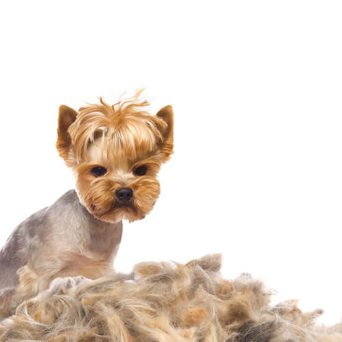 Caída de pelo en perros: causas y tratamiento