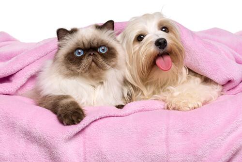 Características de los gatos persas