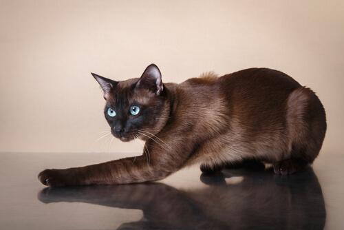 Características del gato tonkinese