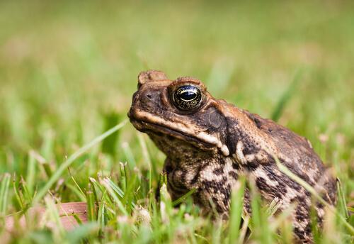 Sapo de caña: características y hábitat