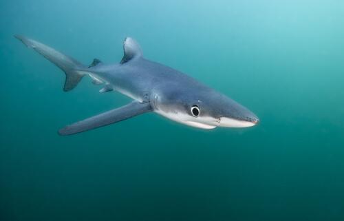 Tiburón azul: hábitat y características