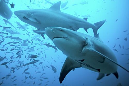 Tiburón toro: hábitat y características
