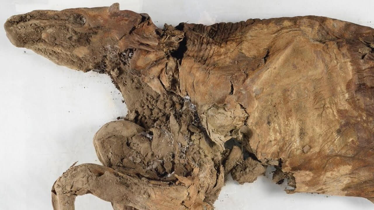 Caribú momificado