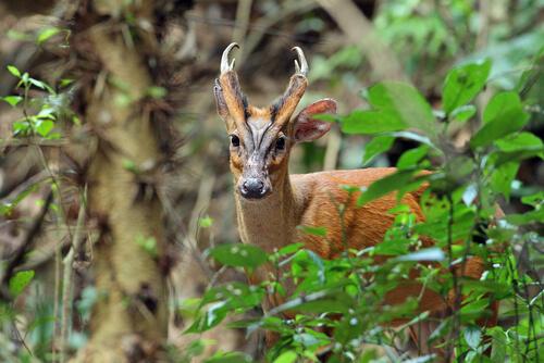 Aún existen ciervos prehistóricos: el muntíaco