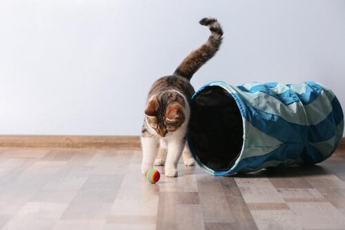 Cómo saber si un gato es zurdo o diestro