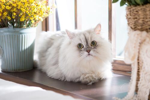 Comportamiento de los gatos persas
