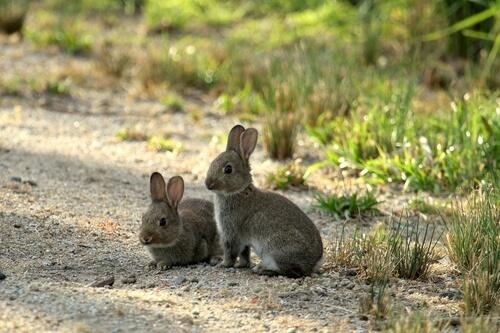 Conejos en Australia: plaga