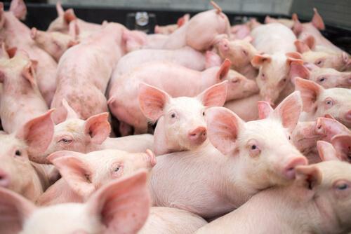 Control de peste porcina africana