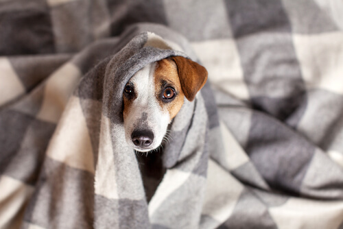 Собачий коронавирус: симптомы и лечение