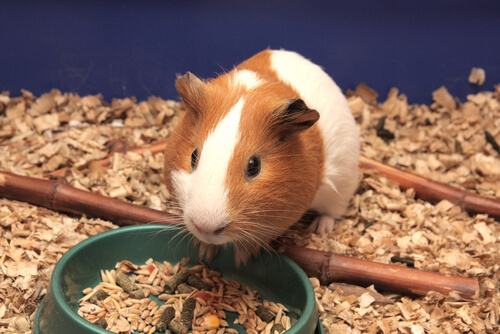 Alimentación y cuidados de los dientes de los roedores