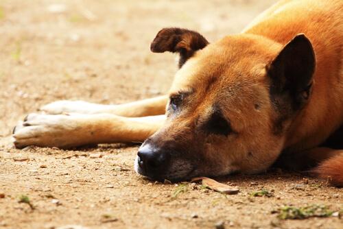 Distemper canino: síntomas