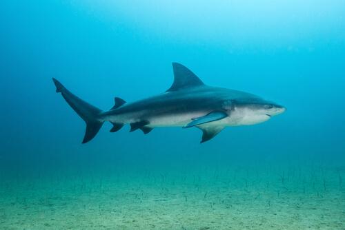 Distribución del tiburón toro