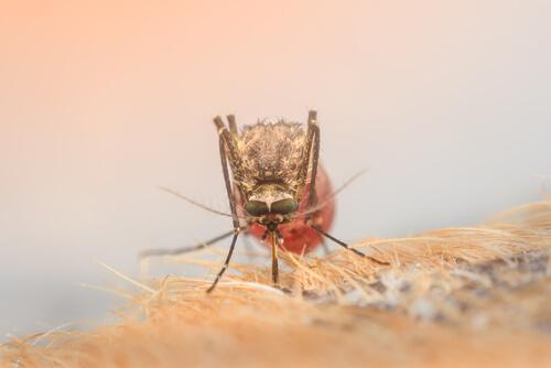 Enfermedades en perros por picadura de mosquito