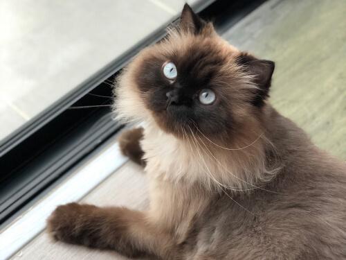 Gato himalayo: características
